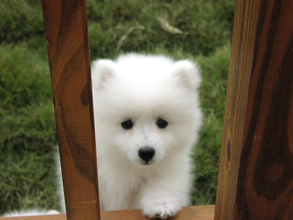 snow white baby samoyed looking true the window