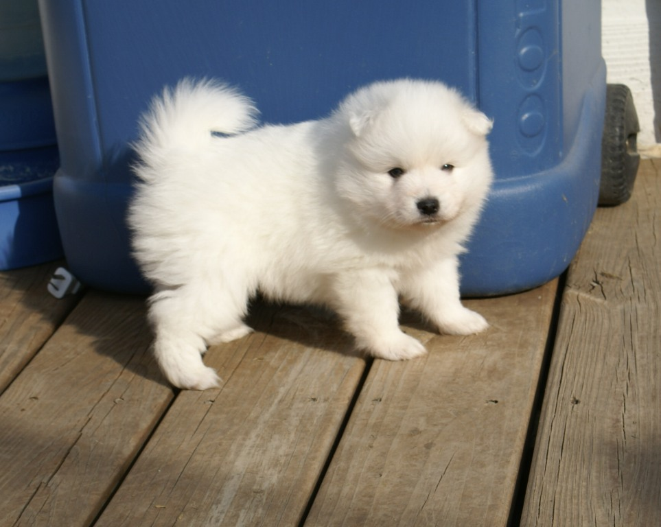 Japanese Spitz Puppies Images & Pictures - Findpik